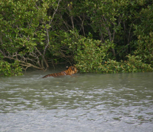 Tiger in the Forest Of Sunderban