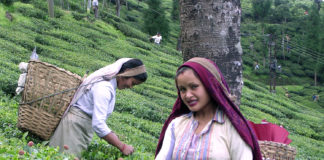 Darjeeling Tea Garden - Worker