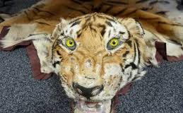 Tiger Skin - Say NO to Wildlife products