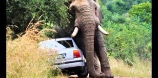 Elephant Attack - Nature