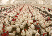 Poultry Farming India
