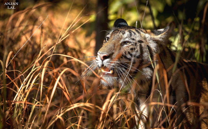I. A Sub-Adult Tigress on the Lookout for Her Mother, Bandhavgarh Tiger Reserve, India