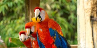 Red and Blue Macaws