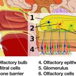 Olfactory-system - Nose internals