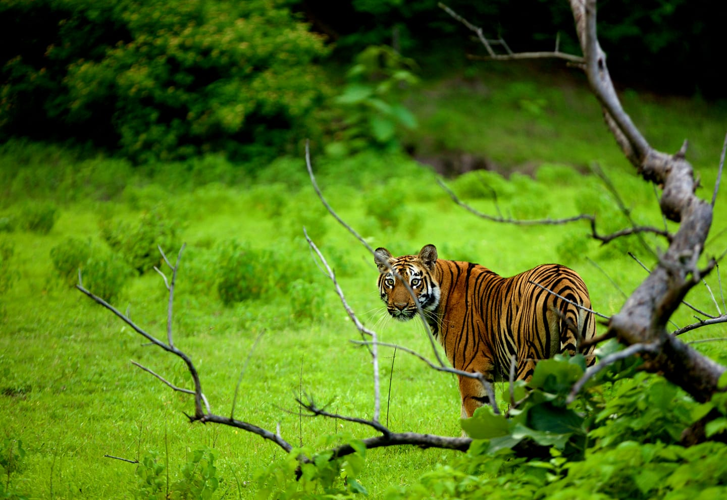 Monsoon Queen- Tigress at Tipeshwar Wild Life Sanctuary