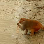Monkey in Sunderbans