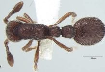 Fig 3. Ooceraea joshii sp. nov. Body in dorsal view [Bharti H. et al. 2021. Two new species of Ooceraea (Hymenoptera, Formicidae, Dorylinae) from India with ten-segmented antennae. ZooKeys 1010: 165-183;