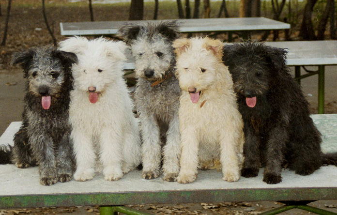 Pumi The Dog - USA Recognized as A New Breed