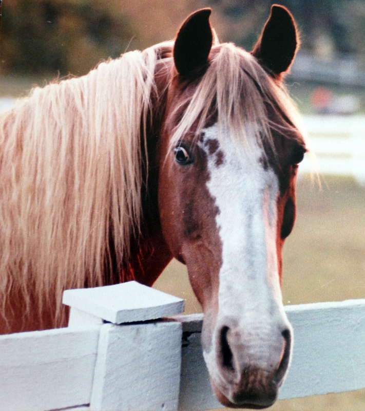 AVMA and AAEP Oppose Industry Efforts to stall Proposed Rule to Enforce Horse Protection Act