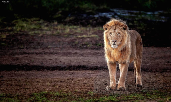V. A Very Massive Lion Photographed at Early Morning Hours, Ndutu Plains, Tanzania