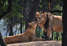 Asiatic Lions by Wikipedia